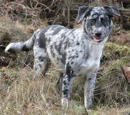 Australian Shepherd Blue Heeler Mix Temperament 29 Jpg 450 400