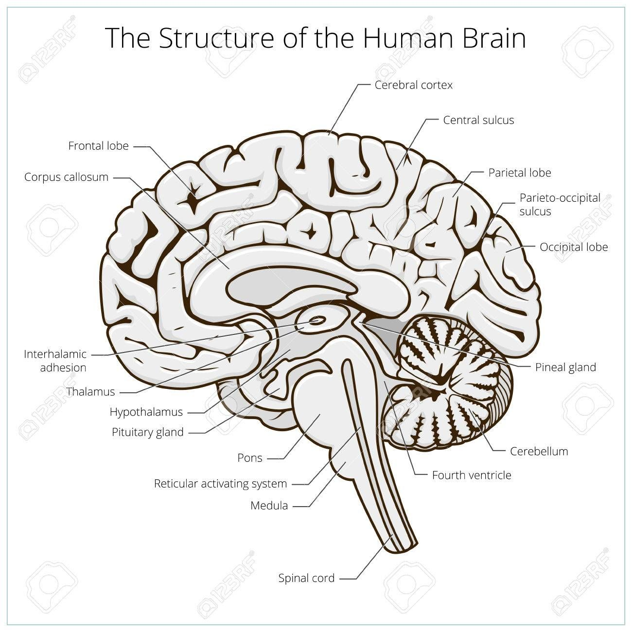 Structure Of Human Brain Section Schematic Vector