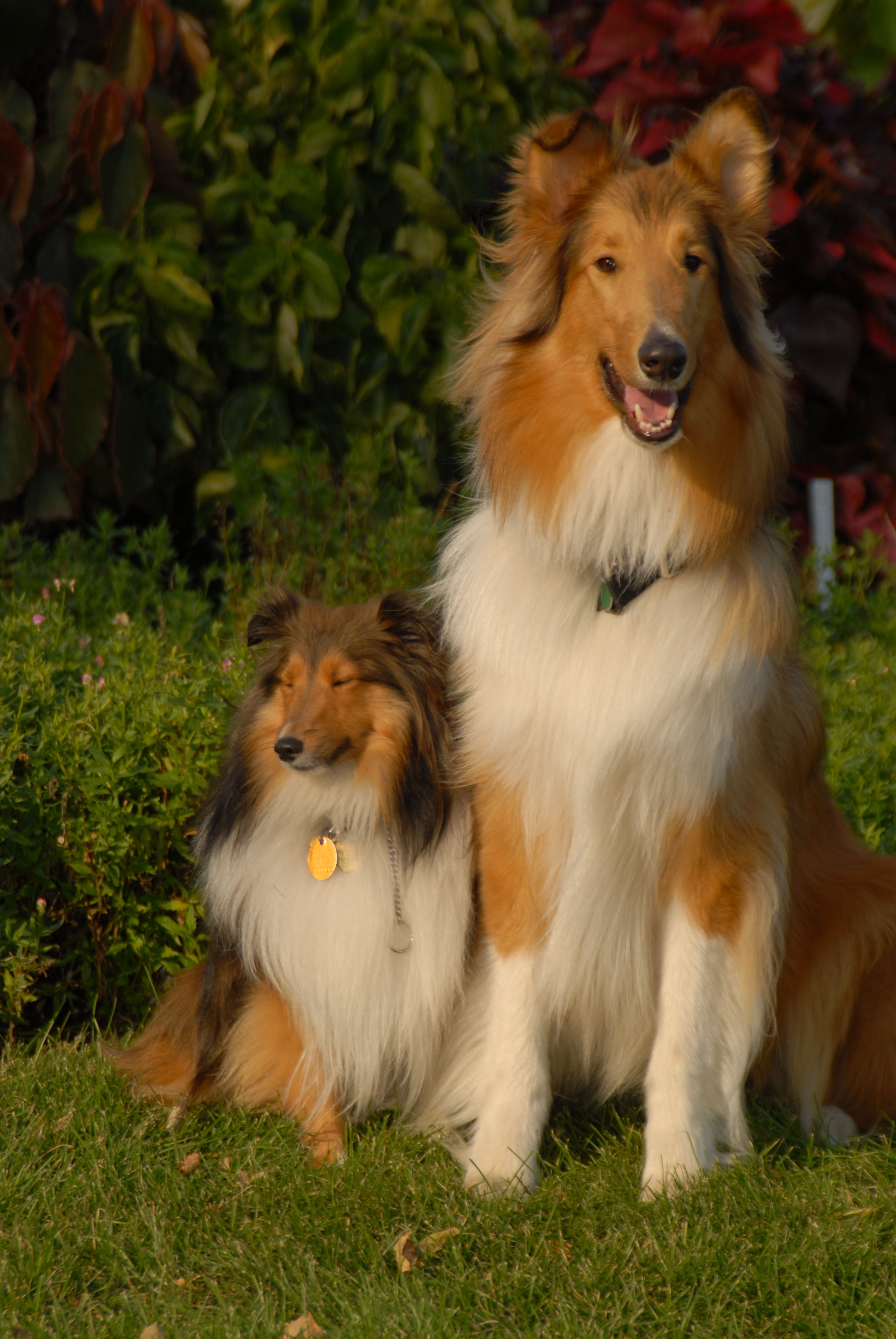 Pin By Dixie Bowen On Perfect Pets Dogs Rough Collie Shetland