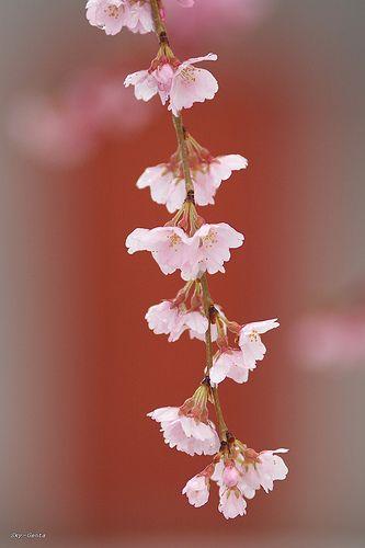 Weeping Cherry Blossom Blossom Garden Beautiful Flowers Blossom