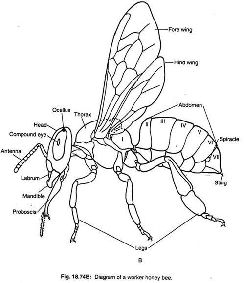 Pin By Ruth Clicquennoi On Dooodlz Bee Bee Diagram Honey Bee