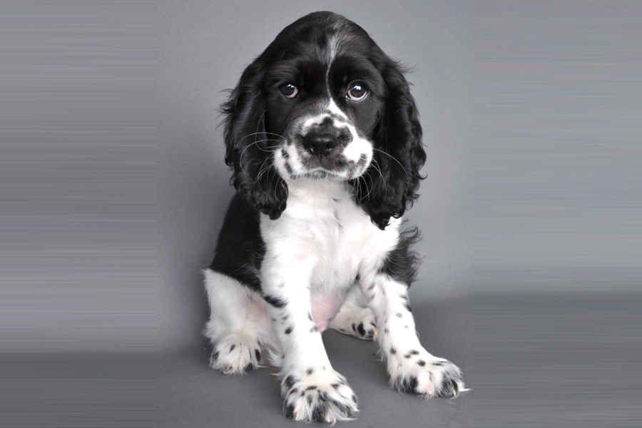German Shepherd Great Dane Puppies For Sale German Shepherd Mix Puppies Dane Puppies Dog Mixes