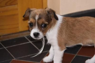 King Charles Cross Jack Russell Jack Russell Beautiful Puppy
