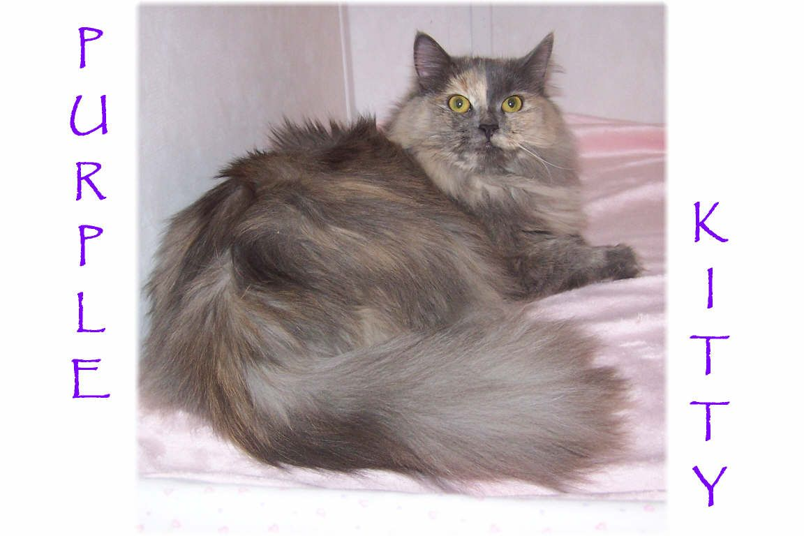Russian Maine Coon Kittens For Sale Ohio