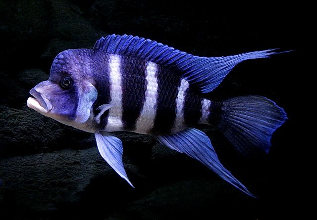 Frontosa Cichlid Gorgeous Coloring Ours Lived 7 Years And Only Died Due To A Prolonged Power Outage African Cichlid Tank Cichlids African Cichlids