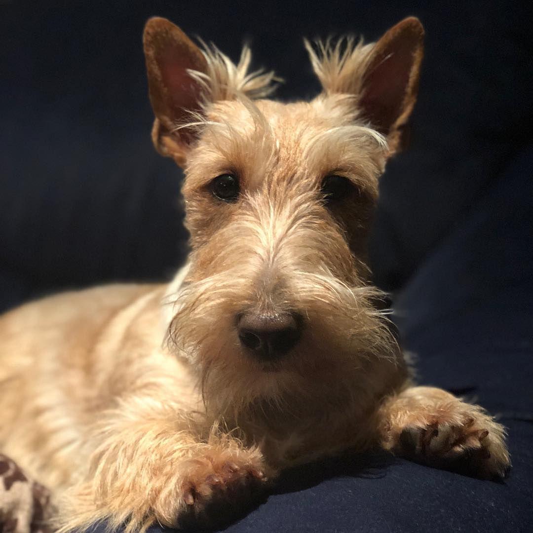 Scottie Dog, Westie Puppies