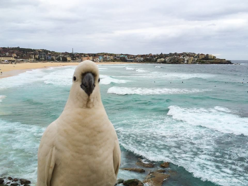 Sulphur Crested Cockatoo At Bondi Beach Sydney Nsw Animals Bondi Beach Bondi Beach Sydney
