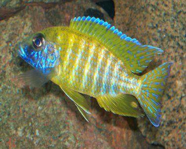 Aquariumdomain Com Cichlids Cichlid Aquarium African Cichlids