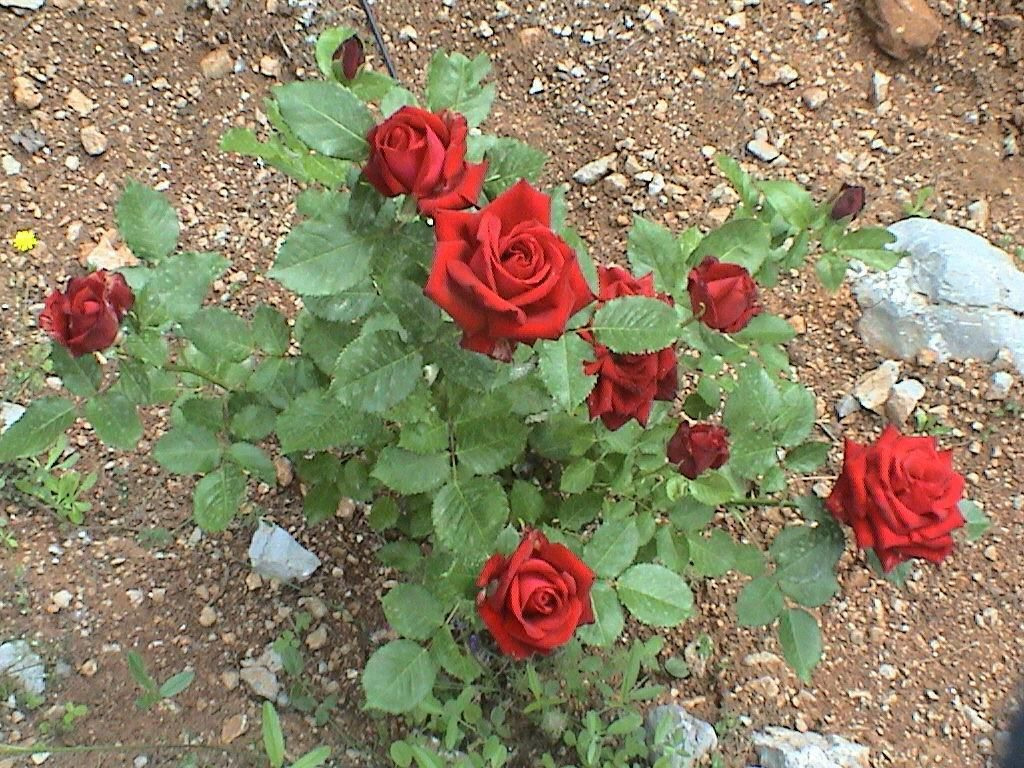 Rose Plant Planting Roses Roses In Potatoes Plants
