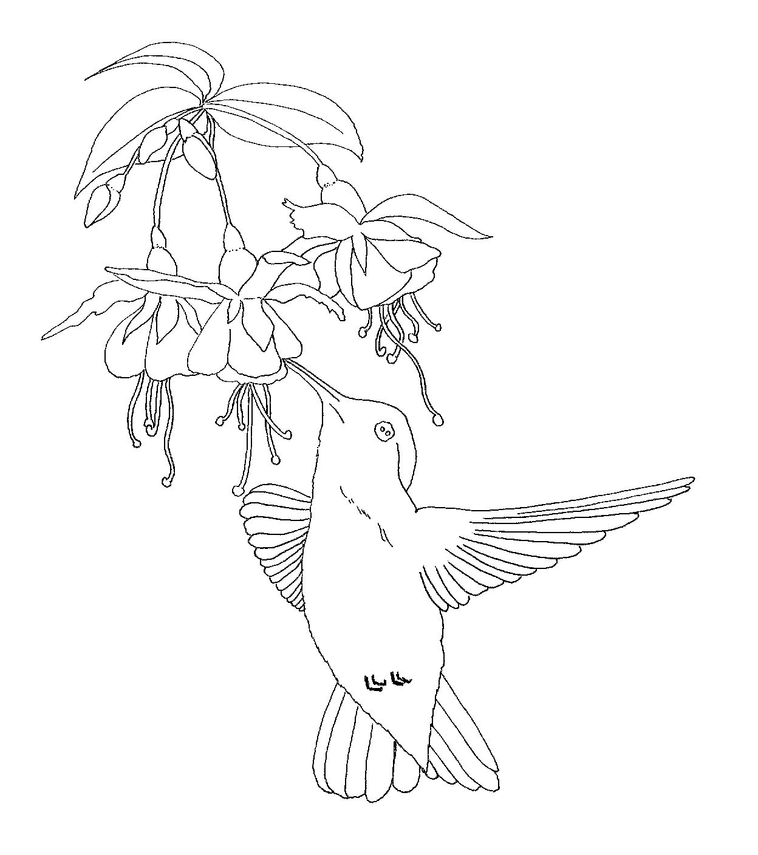 FREE Hummingbird Pattern Line Drawing Free hand