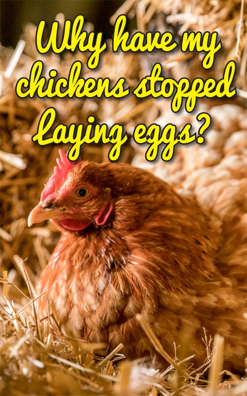Why Have My Chickens Stopped Laying Eggs? | Egg laying ...