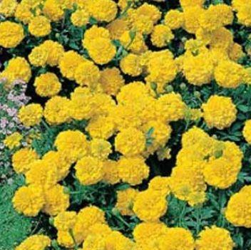 Pin On Marigold