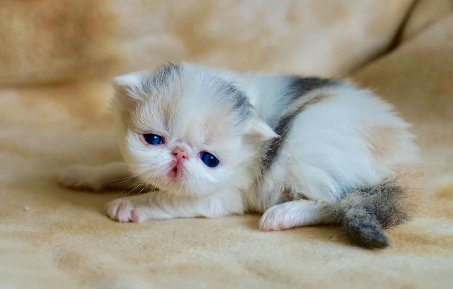 I Have A Beautiful 3 Week Old Dilute Calico Pure Persian Girl That I Am Going To Be Making Available To A Persian Kittens Teacup Persian Cats Persian Cat White