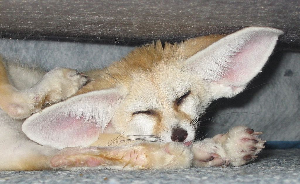 VulpesZerdaScratching cropped - Fennec fox - Wikipedia, the free ...