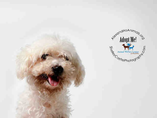 Meet Shaggy A Petfinder Adoptable Maltese Dog Alexandria Va Petfinder Com Is The World Rsquo S Largest Database Of Adoptable P Maltese Dogs Pet Care Pets