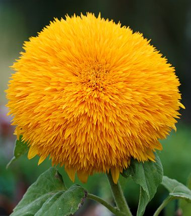 Sunflower Big Bear Great Gardens Ideas Flower Seeds Bonsai Flower Plants