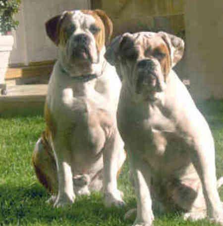 Valley Bulldog Valley Bulldog Bulldog Bulldog Breeds