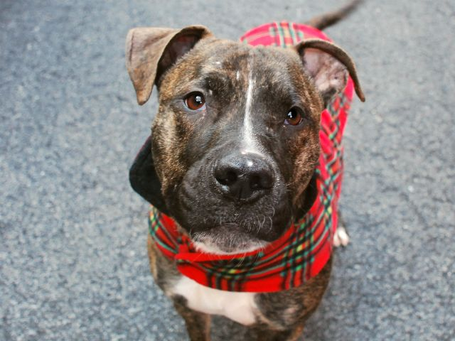 RETURNED!!! RTO SAFE 1/23/16 SUPER URGENT Manhattan Center TIGER aka PEPPER JACK – A1063054 **RETURNED / DOH-B 05/20/16** NEUTERED MALE, BR BRINDLE / BROWN, PIT BULL MIX, 2 yrs, 4 mos STRAY – ONHOLDHERE, HOLD FOR DOH-B Reason STRAY Intake condition UNSPECIFIE Intake Date 05/20/2016, From NY 10457, DueOut Date05/30/2016
