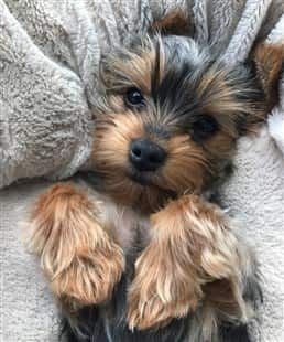Adorable Yorkshire Terrier puppy, paws up Yorkshire
