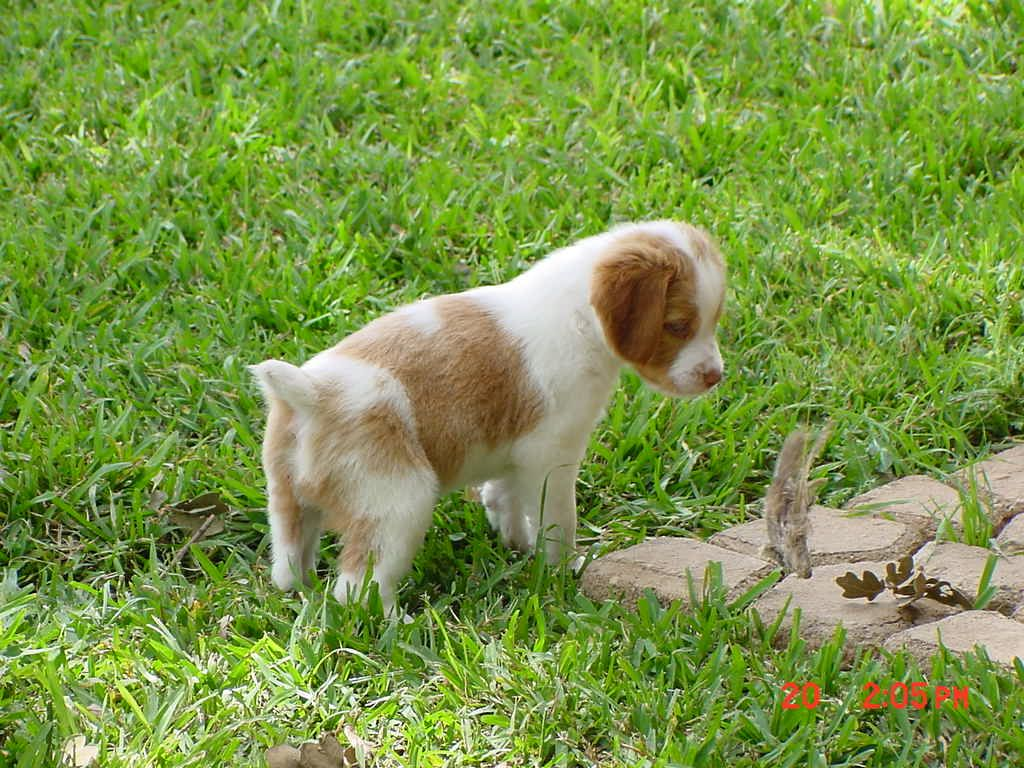 brittany puppies Brittany Puppies for sale. Brittany