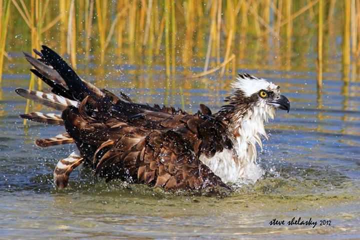 Ospreys normally only get their feet wet when snatching