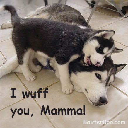 Husky Puppy Loves His Mom Husky Funny Cute Animals Cute Puppies
