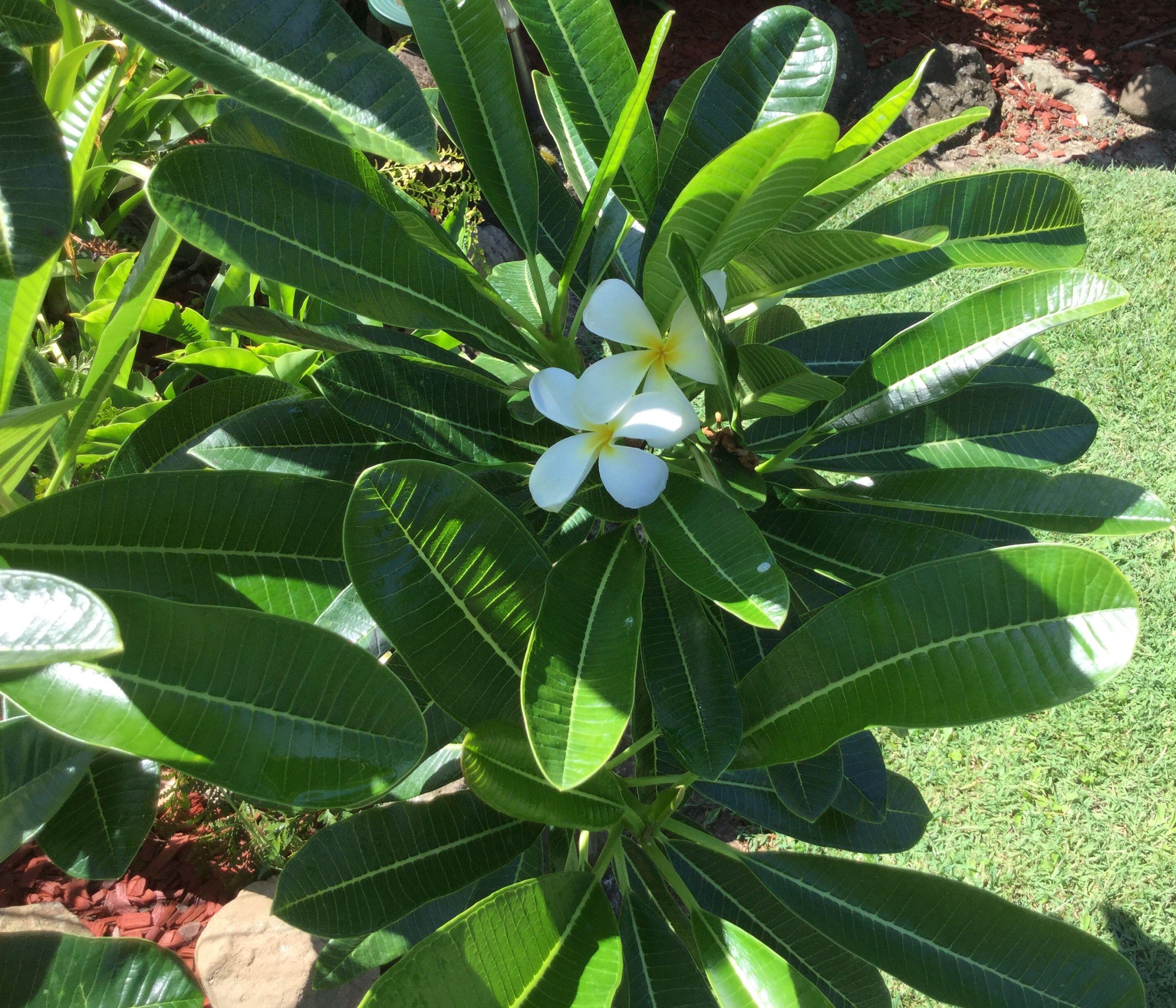 Plumeria Obtusa Evergreen Frangipani Plant Leaves Plumeria Frangipani