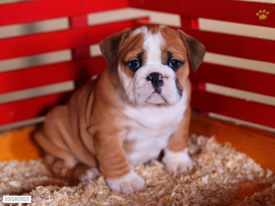 English Bulldog Puppy For Sale In Pennsylvania English Bulldog