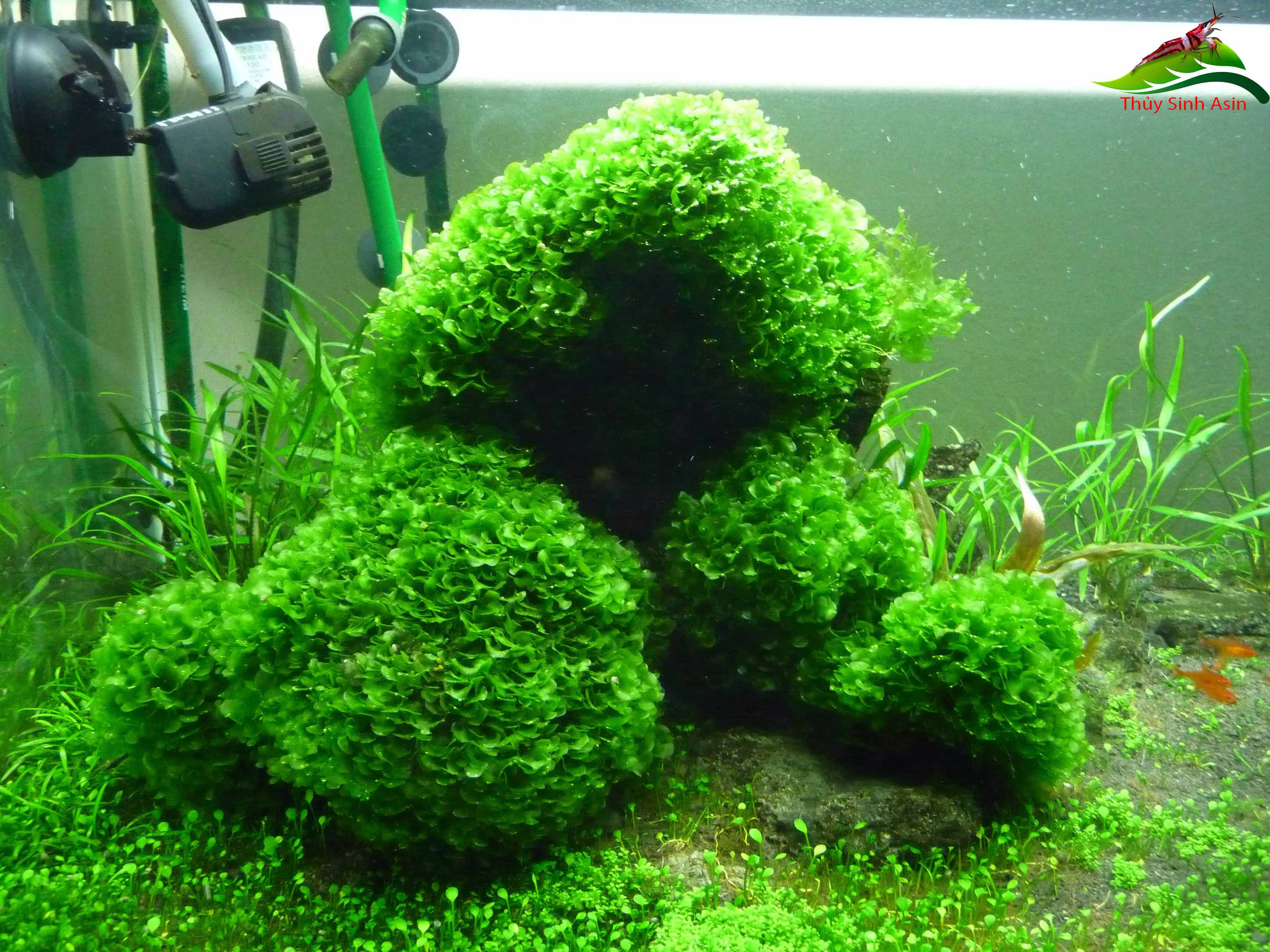 how to stop moss growing in fish tank