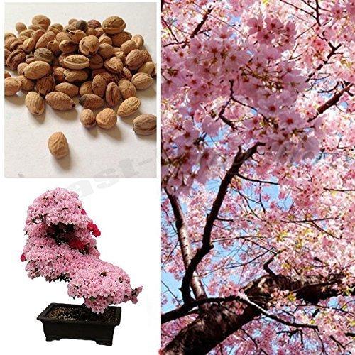 Amazon Com Cherry Blossom Bonsai Tree Sakura Fower Beautiful Pink 10 Seeds Home Improvement Cherry Blossom Bonsai Tree Sakura Tree Cherry Blossom