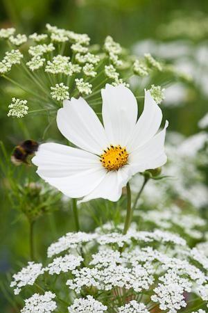 Cosmos bipinnatus purity amazing world pinterest cosmos white on white cosmo bipinnatus purity with ammi majus bishops flower in the meadow at perch hill mightylinksfo