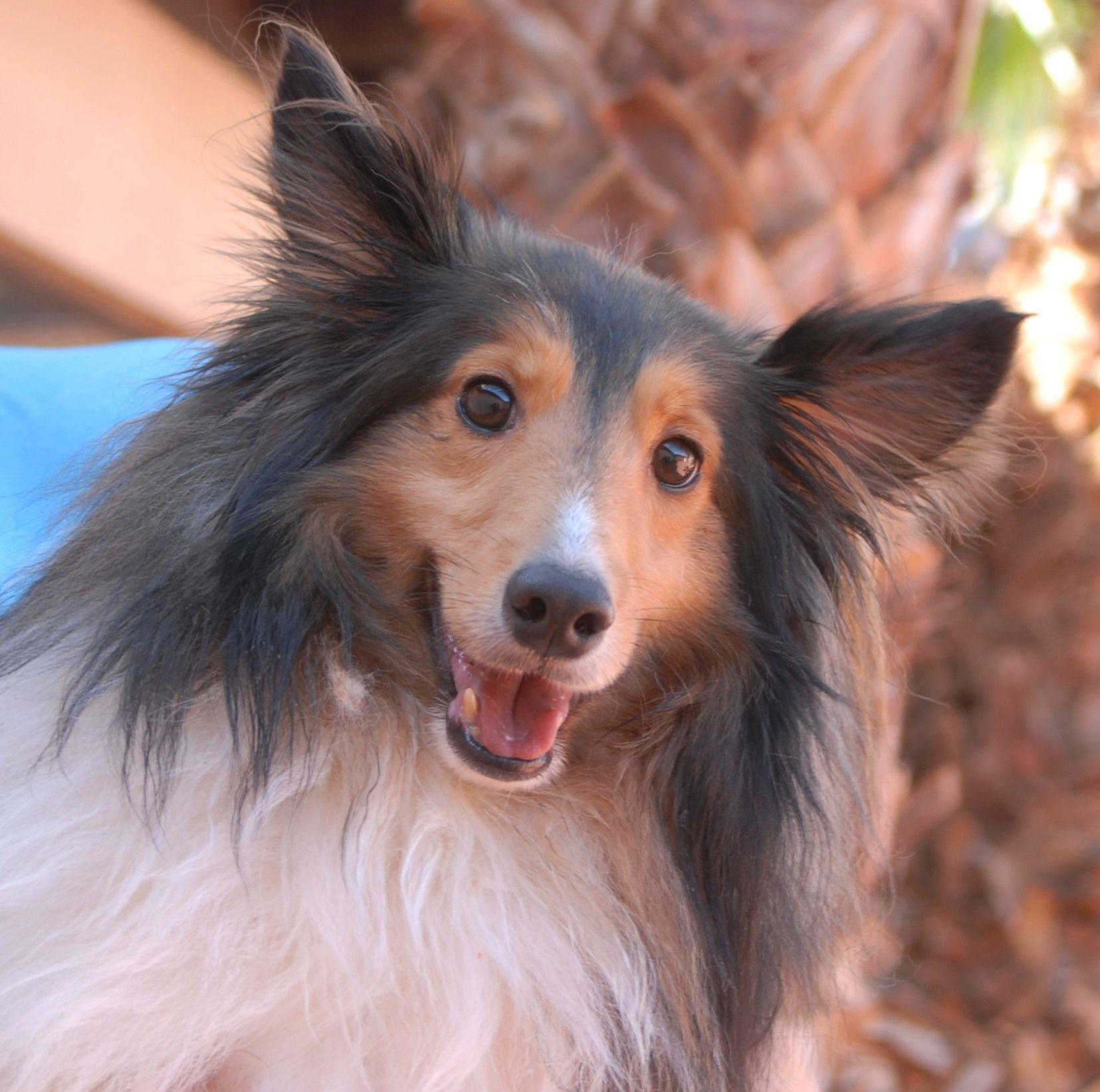 Shelton, devoted and handsome Shetland Sheepdog for