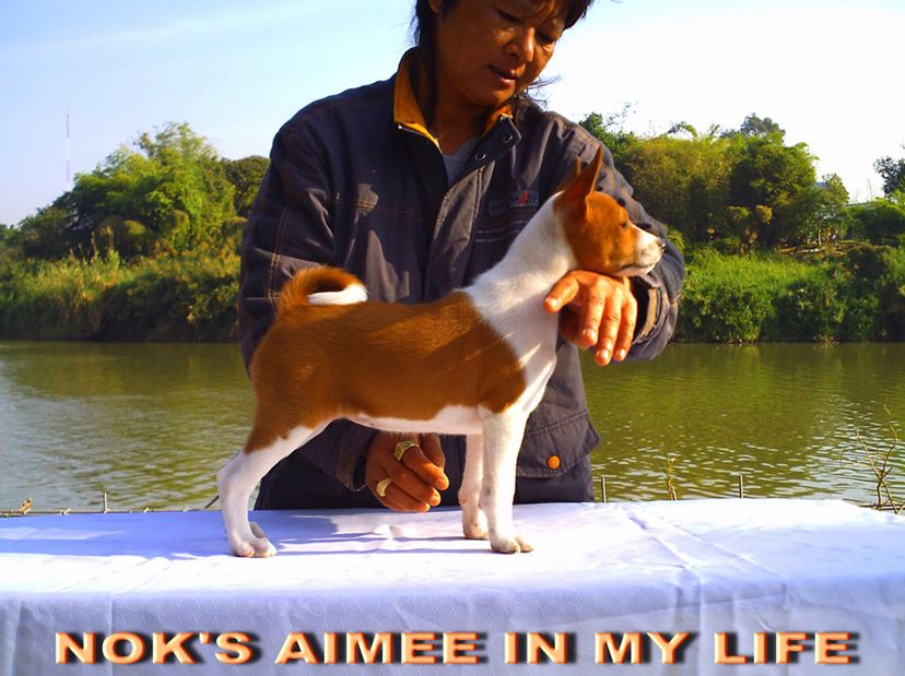 Available For Sale   NOK'S AIMEE IN MY LIFE  ตามรูป  Red-white Female   Born 17 NOVEMBER 2013   Tel. 088 239 7454 K.NOK