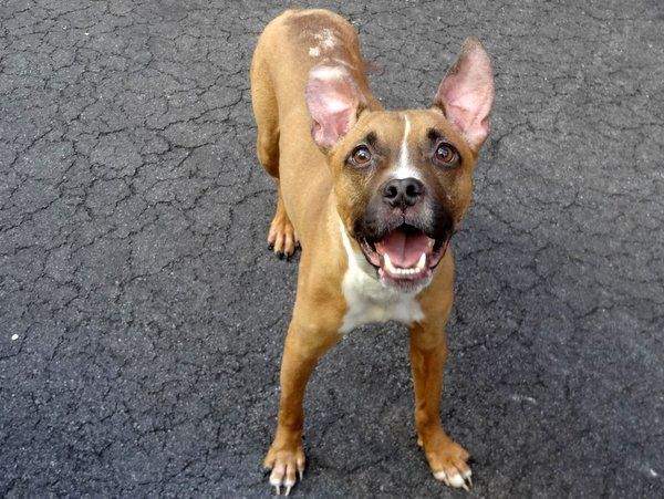 SAFE 5/17/13 Center  TAZ - A0963792 *** GOOD WITH DOGS AND CATS ***  NEUTERED MALE, BROWN / WHITE, PIT BULL MIX, 3 yrs OWNER SURRENDERED due to personal problems Taz - LIVED WITH DOGS AND CATS!! Need I say more? For all those looking for a cat friendly dog... look no further. Taz is your man, and he is waiting for you now!  https://www.facebook.com/photo.php?fbid=605060612840155=a.161896683823219.39456.152876678058553=1