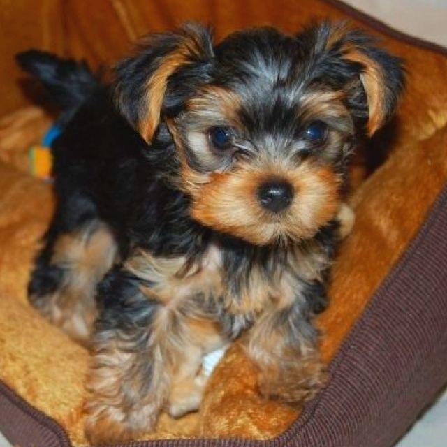 My Yorkie At 10 Weeks Yorkshire Terrier Puppies