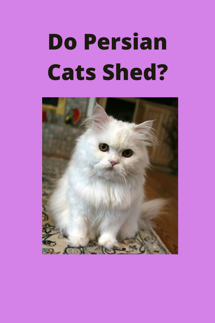 Do Persian Cats Shed In 2020 Cat Shedding Persian Cat Cats