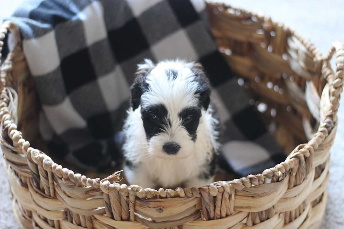 Sheepadoodle Puppy From Native Doodles In Okc Sheepadoodle Puppy