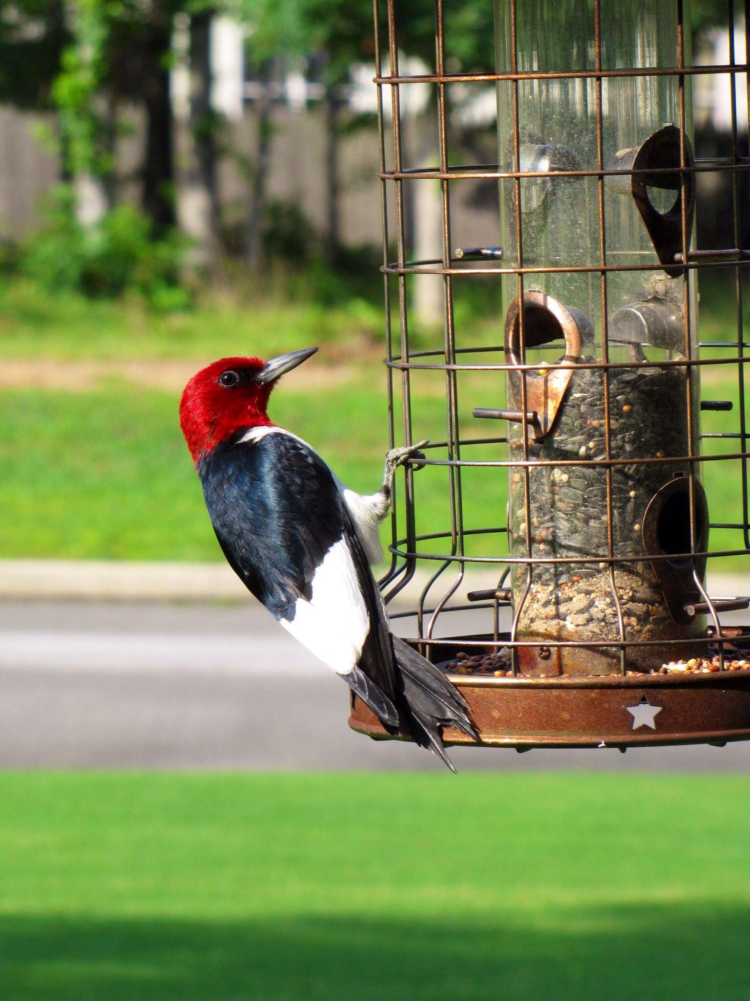 My Red Headed Woodpecker