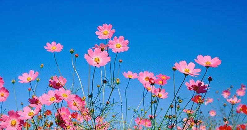 زهرة الربيع والأنانية قالت زهرة لنفسها أنا زهرة في حقل الزهور من المستحيل ملاحظة جمالي وسط بقية الزهور فسمع ملاك ما كانت تفكر به Plants Blog Posts Blog