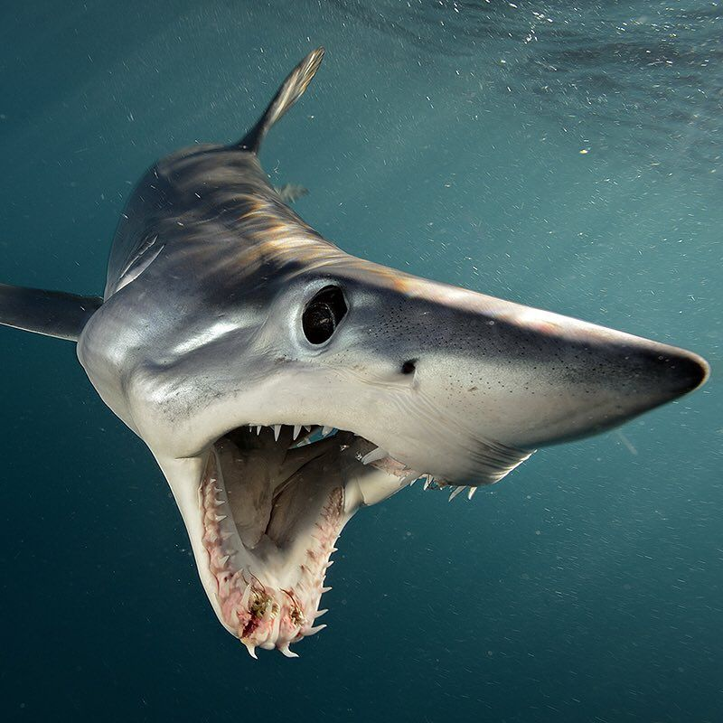 Photo by @BrianSkerry A Shortfin Mako Shark in New Zealand swims open-mouthed at photographer Brian Skerry. Makos are one of the fastest fish in the sea, capable of bursts up to 60mph and of all shark species they have one of the largest brains, relative to body size. The numbers of makos have declined worldwide due to over fishing and the demand for shark fins. They are currently listed as vulnerable.