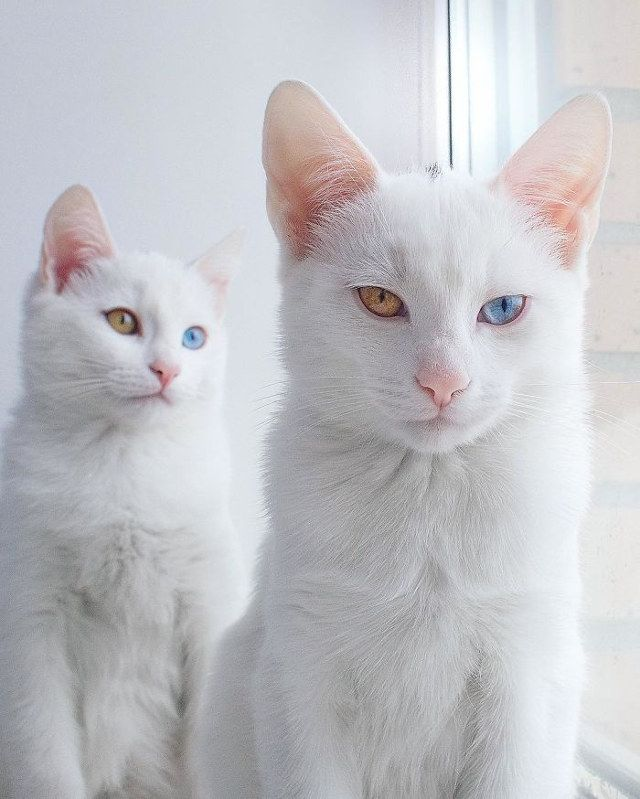 Twin White Cats Born With Heterochromatic Two Different Colored