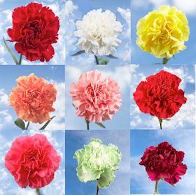 Best Price Of Carnations Wholesale Flowers Carnation Flower Anniversary Flowers