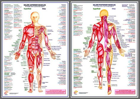 major muscles (anterior, posterior) human anatomy wall chart, Muscles