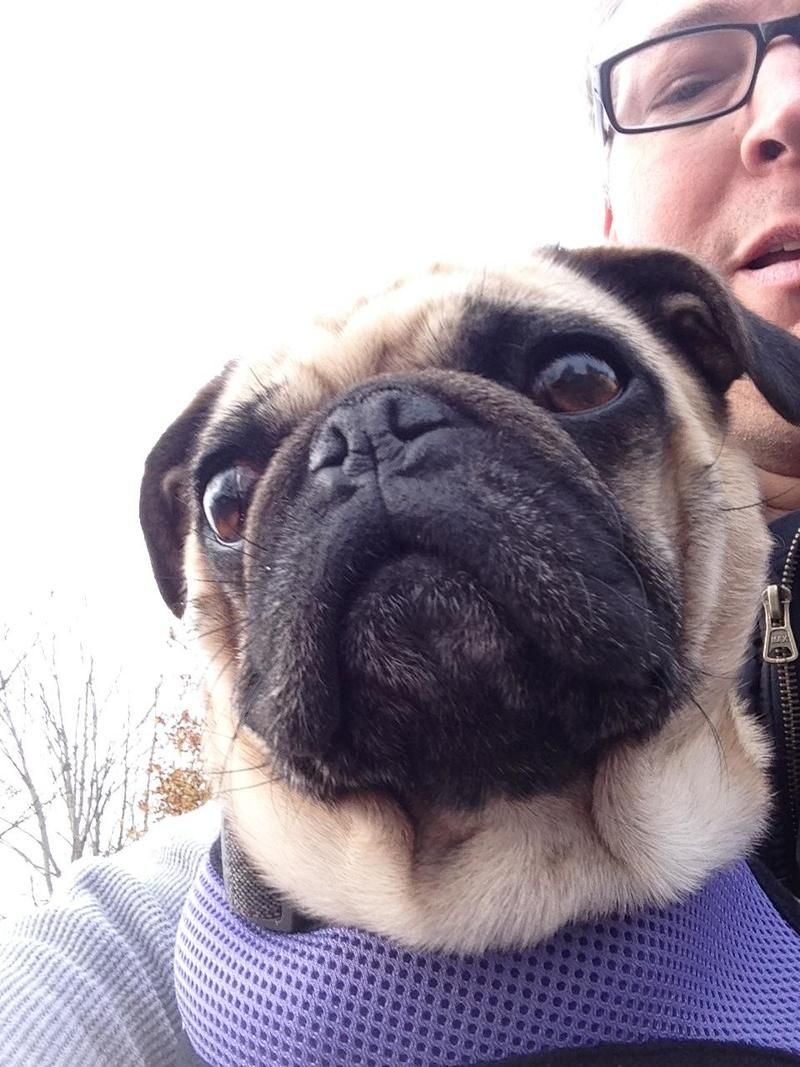 I found Lucy on Pug rescue, Small dogs, Pugs
