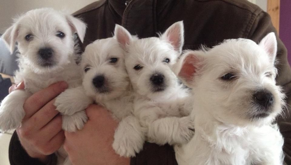 Pug Pedigree Puppies For Sale And Dog Breeders Puppies Westie