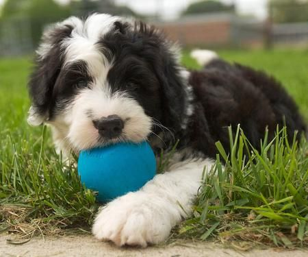 Rocco The Sheepdog Mix Puppy Breed Old English Sheepdog