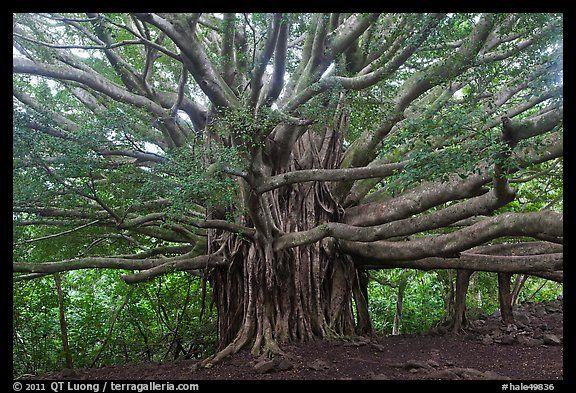 Rainbow Falls Hawaii Wallpaper Web Of Wood Banyan Tree Haleakala National Park Hawaii