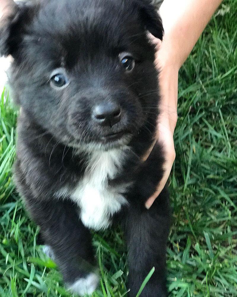 Lab Puppies For Adoption In California 2021