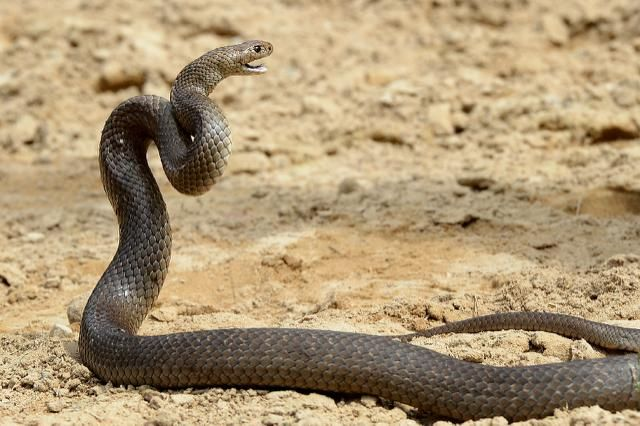Six year old dies from Brown Snake bite in Australia. This has prompted news organizations to put out warnings about this very dangerous snake. It is one of 25 of the world's most deadly snakes, 20 of which are found in Australia.