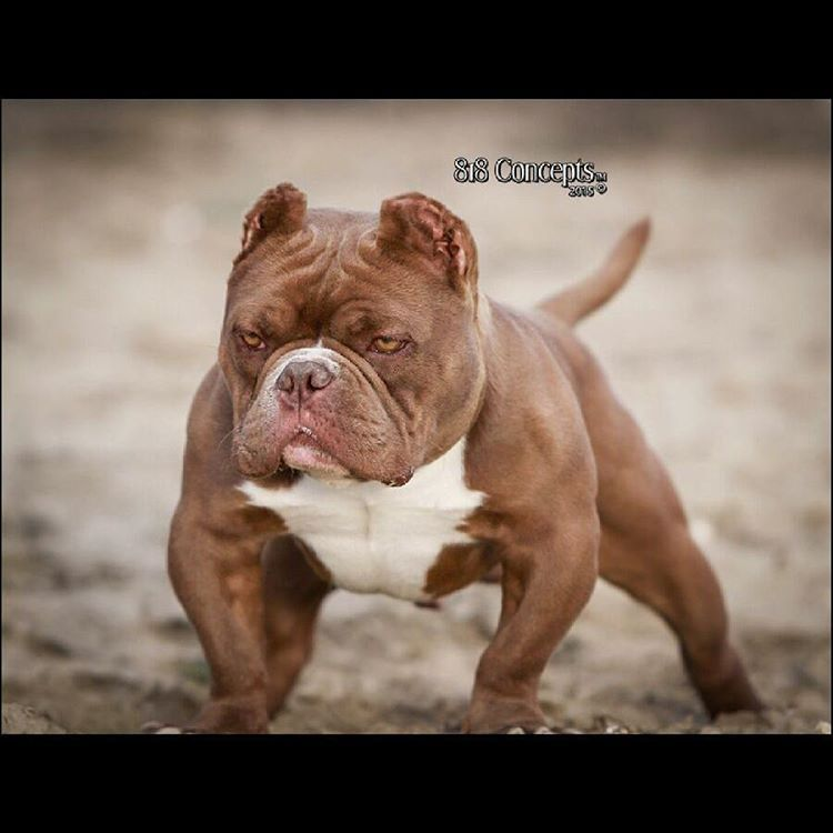 """""""Cognac 11months """"11 and open for a limited time  #bullseyeblood #bullyolympics #thebullyplanet #americanbully #cognac #microbully #mlbblood #abr…"""""""